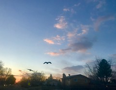 85/365/8 (f l a m i n g o) Tags: project365 365days march 19th 2019 tuesday geese fly sky morning sunrise arvada