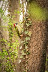 Der Grünspecht - Vogel des Jahres 2014 | Green Woodpecker - Bird Of The Year 2014 (tomhuizi) Tags: wood loweraustria österreich vogel austria wald natur greenwoodpecker wienerneustadt baum tree mirrorless niederösterreich bird akademiepark specht park woodpecker canonphotography nature grünspecht