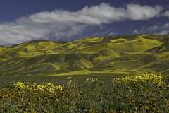 Super Bloom - Pow! (Lisa Roeder) Tags: carrizoplains carrizonationalmonument wildflowers superbloom superbloom2019 centralcalifornia nature