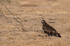 Gurjarat, Feb 2019 (iamfisheye) Tags: february 300mm vr bannigrasslands nikon f4 naturetrek india d500 xqd afs tc14iii pf greatrannofkutch 2019 raremammalsandbirdsofgujarat gujarat