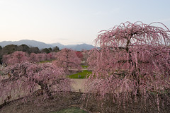 20190407 鈴鹿の森庭園【しだれ梅(夕方)】 (syashindorakunin) Tags: 花 梅 しだれ梅 plum flowers ume 鈴鹿の森庭園 suzukaforestgarden plumtreegarden japan