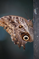 Foz Butterfly (peter_a_hopwood) Tags: butterfly brazil sony a99 december 2019 foz iguacu