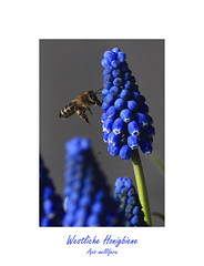 Westliche Honigbiene - Apis mellifera (ernst.ruhe) Tags: ernstruhe fotosvonernstruhe fotovonernstruhe natur bienen hautflügler apidae apinae biene hymenoptera apocrita honigbiene westlichehonigbiene apismellifera
