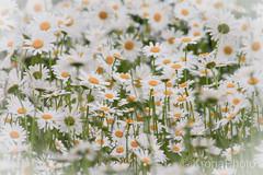 Summer garden memories, Norway (KronaPhoto) Tags: natur