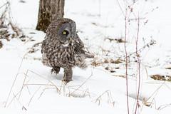 Great grey owl walking in snow (dwb838) Tags: snowbunting 8x10 walking greatgreyowl