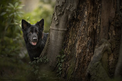 Jungle (kahora777) Tags: dogphotography animalsphotography petphotography outdor germanshepherds blackdog tree wood jungle