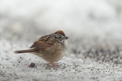 Swamp Sparrow-40981.jpg (Mully410 * Images) Tags: birdwatching birding winter backyard bird birds sparrow cold spring snow birder swampsparrow