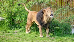 The King - 6679 (ΨᗩSᗰIᘉᗴ HᗴᘉS +56 000 000 thx) Tags: lion fauve animal king roidelajungle pairidaiza sony sonydscrx10m4 belgium europa aaa namuroise look photo friends be yasminehens interest eu fr party greatphotographers lanamuroise flickering nature