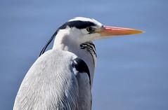 Heron (Lancs & Lakes Outback Adventure Wildlife Safaris) Tags: nikon d3300 18300mm bird heron eye beak bill dagger kincraiglake bispham blackpool