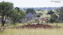 Cheetah - Kruger National Park (BenSMontgomery) Tags: cheetah kruger national park big cat satara central south africa safari wild life landscape spots
