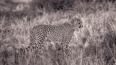 Cub of  Acinonyx jubatus (Coisroux) Tags: nikond850 acinonyxjubatus cheetah thebig5 safari wildlife monochrome blackandwhite mammal grasses animal kwandwe