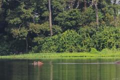 UN IPPOPOTAMO (Ezio Donati is ) Tags: animali animals natura nature fiume river acqua water foresta forest alberi trees westafrica costadavorio abidjan