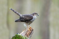 Sparrowhawk (Chas Moonie-Wild Photography) Tags: sparrowhawk hawk male wild raptor woods accipiter nisus scotland ngc
