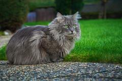 When the grass is green .... (FocusPocus Photography) Tags: fynn fynnegan katze kater cat chat gato tier animal haustier pet garten garden gras grass keinschnee nosnow