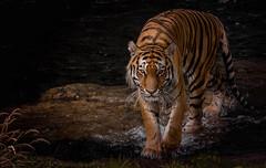 Amur Tiger (neil 36) Tags: amur tiger