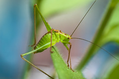 green visitor (Blende1.8) Tags: grashüpfer grasshopper green grün macro makro color colours colorful colourful colour colors garden garten fühler antenna antennae onsect insects insekt insekten closeup nahaufnahme sel90g 90mm sony emount nature natur langfühlerschrecken leptophyespunctatissima heuschrecke locust sel90m28g