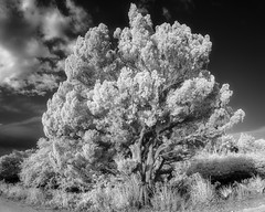 Weathered Red Cedar (Ed Rosack) Tags: usa landscape blackpointwildlifedrive nature ©edrosack panorama treescape florida evergreen infrared cloud redcedar sky centralflorida tree merrittislandnationalwildliferefuge blackandwhite monochrome bw bpwd cloudy grayscale ir minwr titusville us edrosackcom