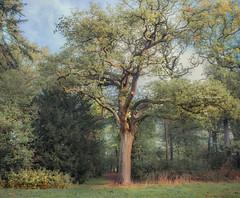 Hodgepodge (Ingeborg Ruyken) Tags: 2018 autumn october woods berlicum fall flickr herfst ochtend morning wamberg tree forest oktober natuurfotografie 500pxs instagram shertogenbosch bos