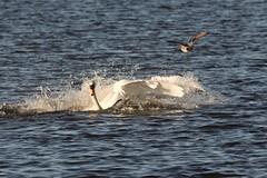 IMG_2434 (LezFoto) Tags: swan mute cygnusolor loirstonloch aberdeen scotland unitedkingdom canoneos700d sigma 700d canon 120400mmf4556dgapooshsm digitalslr dslr canonphotography sigmalens fight splash splashing action