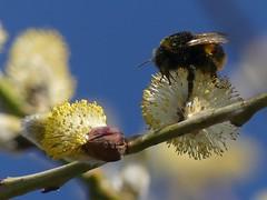 Bumblebee (ukstormchaser (A.k.a The Bug Whisperer)) Tags: bumblebee bee bees uk animal animals wildlife milton keynes mk macro bucks buckinghamshire goat willow tree trees branch feeding afternoon
