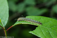 Blue Beauty (dglsbrwnsr) Tags: southdakota blue bug caterpillar colorful defoliation easterntentcaterpillar eating