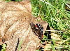 Vulcain 02 (Jean-Daniel David) Tags: insecte insectevolant papillon vulcain bokeh pelouse feuillemorte feuille herbe closeup grosplan vert verdure réservenaturelle yverdonlesbains vaud suisse suisseromande nature faune