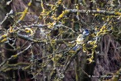 Blue Tit (Ashley Middleton Photography) Tags: inglesham riverthames animal bird bluetit england europe river titmouse unitedkingdom wiltshire