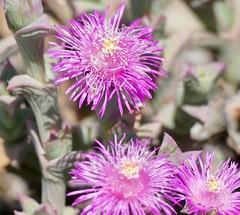 Doringvygie (Ruschia uncinata) flowers ...