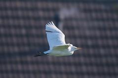 Cattle Egret-7400 (seandarcy2) Tags: egret cattleegret cattle heron birds wild wildlife handheld herts uk urbanbirding
