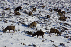 Have You Herd the Red Deer (steve_whitmarsh) Tags: aberdeenshire scotland scottishhighlands highlands mountain winter snow animal nature wildlife reddeer stag glen cairngorms topic