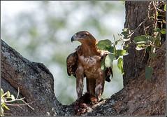 Tawny-Eagle_AM06708 (SueM59) Tags: bird december2018 knp raptors tawnyeagle