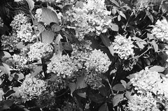 A plant in black-and-white (photo 3) (Matthew Paul Argall) Tags: beirettevsn manualfocus 35mmfilm kentmere100 100isofilm blackandwhite blackandwhitefilm flower flowers