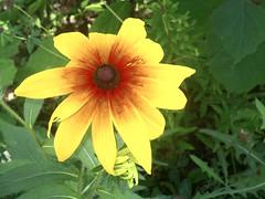 Рудбекия (lvv1937) Tags: цветок лето
