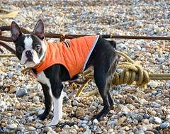 Winter coat. (pstone646) Tags: dog pet animal beach lookingatme orange blackandwhite cute