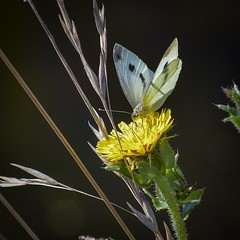 Cabbage White butterfly (njohn209) Tags: d500 nikon nz insects