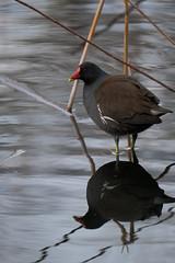 XT3B8962 (jojotaikoyaro) Tags: zenpukuji suginami tokyo japan bird animal nature wildlife fujifilm xt3 xf100400mm