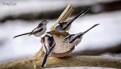 🇬🇧 Stop eating & all look at me. (vickyouten) Tags: longtailedtit nature naturephotography wildlife britishwildlife wildlifephotography nikon nikond7200 nikonphotography sigma sigma150600mmc penningtonflash leigh uk vickyouten