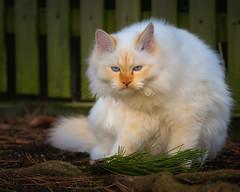 Harrumph ! (FocusPocus Photography) Tags: tofu dragon katze kater cat tier animal haustier pet zaun fence mürrisch grumpy