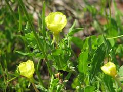 Oenothera laciniata --  Cut-leaved Evening Primrose 2674 (Tangled Bank) Tags: san felasco state forest alachua county florida wild nature natural trail outdoors hiking plant flora botany
