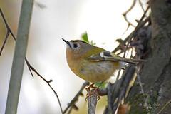 Goldcrest (Mike Slade.) Tags: goldcrest regulusregulus bird ivy stovercountrypark newtonabbot devon england nikon ©mikeslade