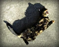(timetomakethepasta) Tags: cat feline pussy pussycat animal mammal kitty
