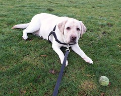 Gracie wanting to play ball (walneylad) Tags: gracie dog canine pet puppy cute lab labrador labradorretriever january winter norgate ball