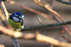 Blue  tit (benmccarthyphotography) Tags: canon canon750d wildlife bird birds birdwatching cobh
