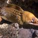 Gymnothorax prasinus - Green moray