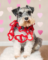 Snickers (Cheryl3001) Tags: valentine schnauzer dog canon 5d mark iii 50mm f14