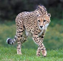 """Okubi""-Cheetah (suzneill) Tags: sdzsafaripark cheetah cheetahambassador sandiegozoosafaripark okubi zoosofnorthamerica animalplanet fortheloveofzoos zoos aardvarktozyzzyva nationalgeographicanimals zoolife zoosoftheworld animalsinzoosparks californiazoos zoophotos sandiegozoofans zoosaroundtheworld focusingonthesandiegozooandsafaripark flickrbigcats bigcatsfromaroundtheworld zoophotogroup naturesgallery sjohnsons fauna"