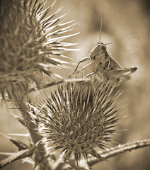 The Alien (N.Clark) Tags: grasshoppers insects sepia grasshopperinthistles alien bugs insectmacros