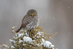 Northern Pygmy-Owl (www.studebakerstudio.com) Tags: northern pygmyowl northernpygmyowl glaucidium californicum glaucidiumcalifornicum utah studebaker owl raptor bird snow nature