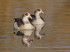 Egyptian geese (yvonnepay615) Tags: panasonic lumix gh4 nature egyptiangeese holkham norfolk eastanglia uk