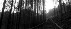Going Up (selyfriday) Tags: selyfriday wwwnassiocomempty nassiocom horizon202 horizon 202 swing lens panorama wide film caffenol deltastd 25 ˙c 9minutes ilford hp5 expired 400iso analogue nederland netherlands holland dutch schoorl duin d unes trees forest split